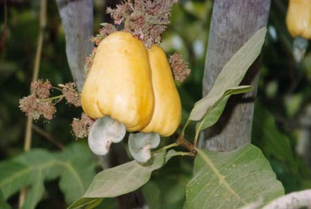 Cashews: the nut you can't buy in a shell   Evil Mad